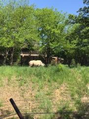 White rhino!