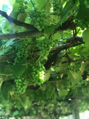 These grapes were really big! Love walking beside (and sometimes, directly under) the vibes and grapes.