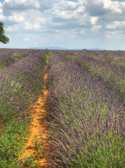 And across the street, the famous lavender fields!