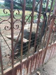 Hello homeboy! I love piggies!!
