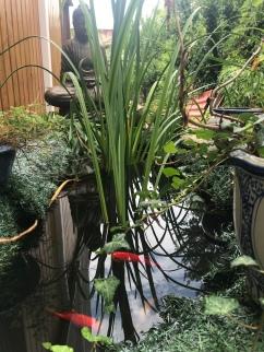 Fish pond at Pras' house.