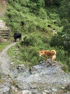 Kushi, checking out and warning us of buffalo ahead.